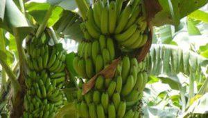 Banana G9