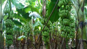 Banana G9 Field